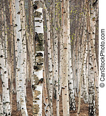 árvores vidoeiro