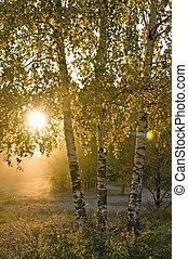 árvores vidoeiro, verão, floresta