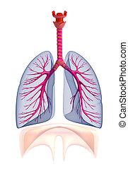 áttetsző, emberi, tüdő, anatómia