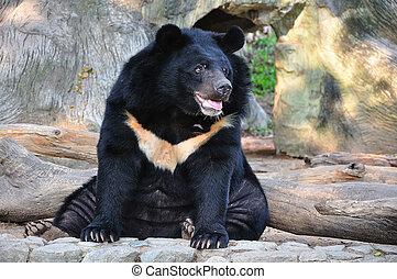 ázsiai, fekete medve