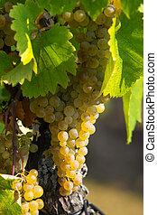 âmbar, uvas
