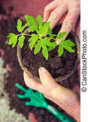 äldre kvinna, plantande, frisk, tomat, planta, räcker,...