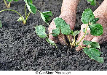 ältere frau, pflanzen, a, erdbeer, setzling