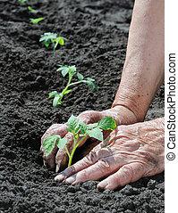 ältere frau, pflanzen, a, fleischtomaten, setzling