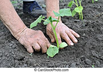ältere frau, pflanzen, a, gurke, setzling
