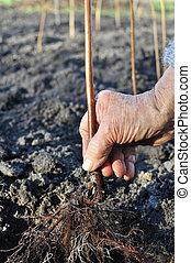 ältere frau, pflanzen, a, himbeer , setzling