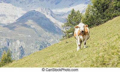 äng, österrike, ko, mjölk