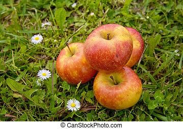 äpfel, in, der, gras, mit, gänseblümchen