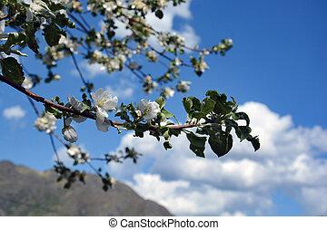 äpple, blomningen