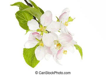 äpple blomstra, isolerat, över, vit