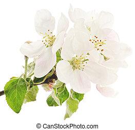 äpple blomstra