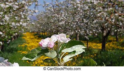 äpple, blomstringar
