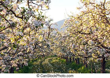 äpple, blomstringar, in, april