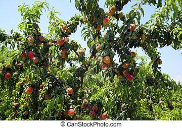 äpple fruktträdgård