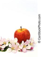 äpple, och, äpple träd, blomstringar