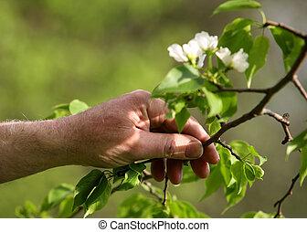 äpple träd, blomstringar