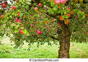 äpple, träd, fruktträdgård