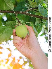 äpple träd, hand, närbild, grön, plockning