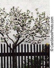 äpple, träd, kläd, in, blomstringar