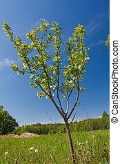 äpple träd, med, blomningen