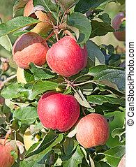 äpple, trädgård