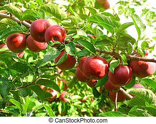 äpplen, fruktträdgård, röd