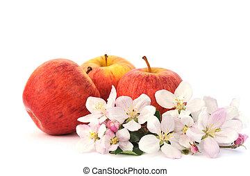 äpplen, och, apple-tree, blomstringar