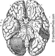 årgång, bas, hjärna, engraving.