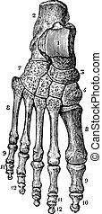 årgång, engraving., skelett, fot