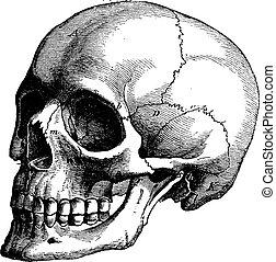 årgång, huvud, skelett, mänsklig, engraving.