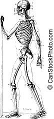 årgång, skelett, engraving.