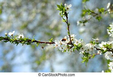 æble træ, blomstring, og, en, bi