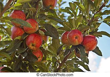 æbler, på, en, træ