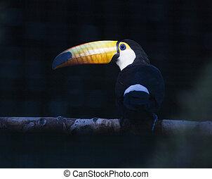 ægte, tucano, træ, oppe, zoo, klar, branch, lukke, fugl