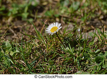 æn, liden, daisy blomst