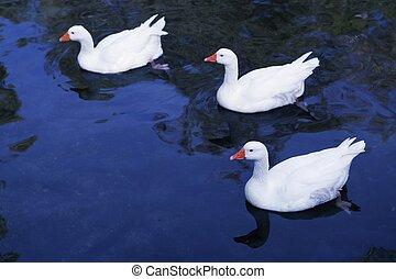 ænder, ind, hvid, hen, blå sø, fugl, aerial udsigt