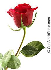 écarlate, fleurir, rose, à, a, clair, feuillage vert, sur,...