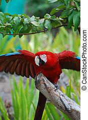 écarlate, prolongé, macaw, ailes