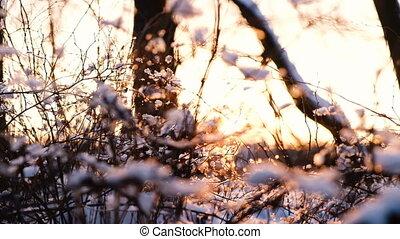 éclat, branches, rayons, branches, neigeux, lent, foyer, arbres, mouvement, forêt, appareil photo, coucher soleil, par, long, mouvements, buissons
