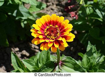 éclat coloré, jaune rouge, zinnia, whirligig, fleur