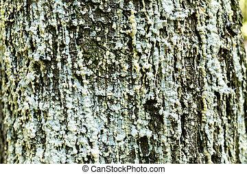 écorce, arbre, résine
