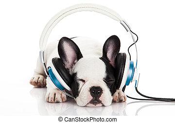 écoute, bouledogue, écouteurs, chien, francais, isolé, arrière-plan., musique, fond, portrait, blanc, chiot