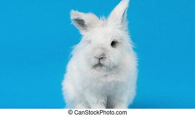 écran bleu, vidéo, lapin blanc