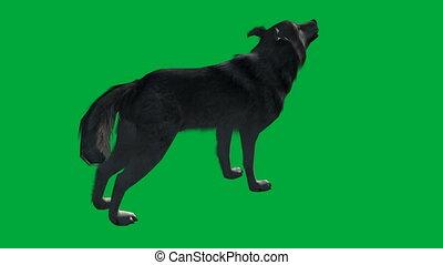 écran, -, promenade, loup, animal, vert, métrage
