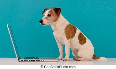 écran, travaux ordinateur, chien, mignon, regarder
