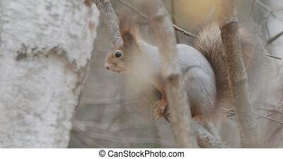 écureuil, automne, assied, branche, forest., rongeur, ...