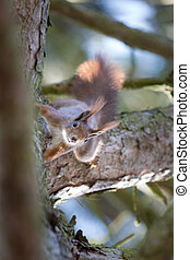 écureuil, curieux