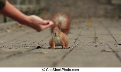 écureuil, gingembre, traiter