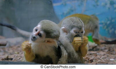 écureuil, manger, graines, citrouille, singes