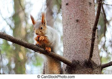écureuil, pin, branche